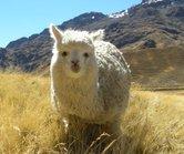 Lama jong Populaire rondreizen Peru