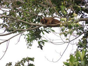 Aap tijdens Jungle Puerto Maldonado