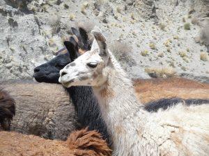 Lama tijdens de Rondreis Peru 4 weken